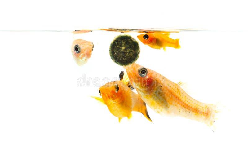 Grupo de cuatro Paty Fish en el fondo blanco imagenes de archivo