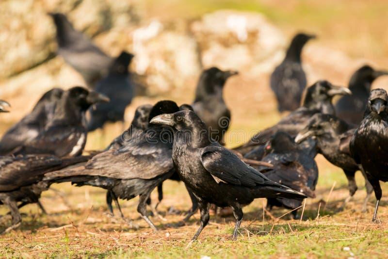Grupo de cuervos negros imagen de archivo