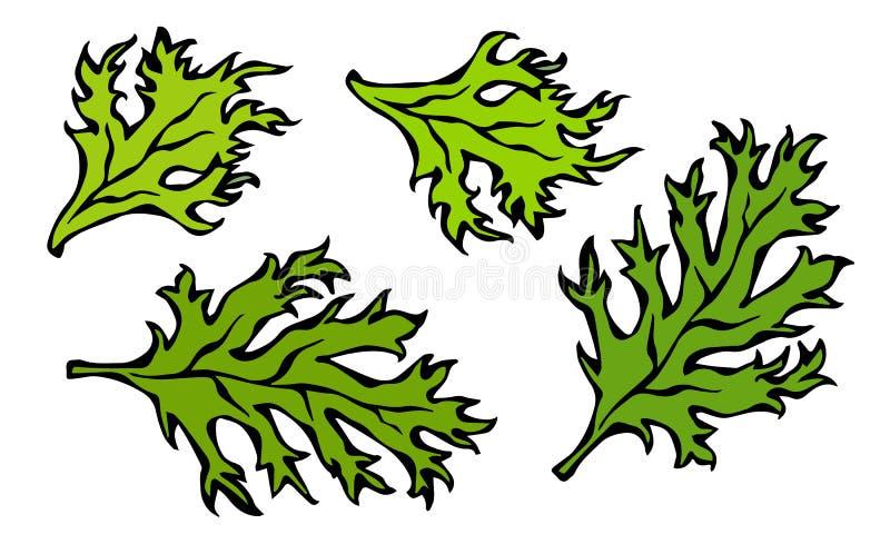 Grupo de Curley Parsley Leaves verde Fundo com erva aromática Ingrediente de cozimento fresco da salada Ilustração desenhada mão  ilustração stock
