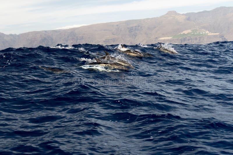 Grupo de delfínes cerca del La Gomera foto de archivo libre de regalías