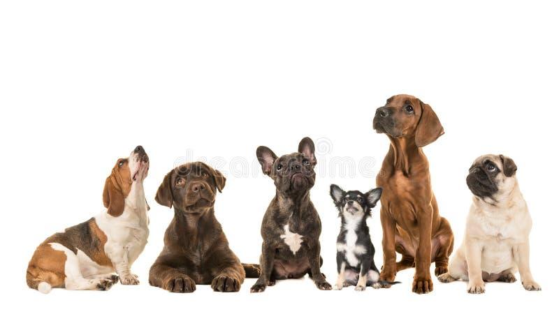 Grupo de diversa clase de perros criados en línea pura que sientan uno al lado del otro la mirada para arriba imagen de archivo libre de regalías