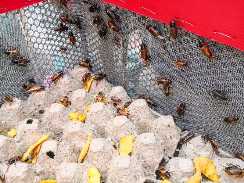 Grupo de domestica do Acheta do grilo no bloco do ovo na casa do inseto fotos de stock royalty free