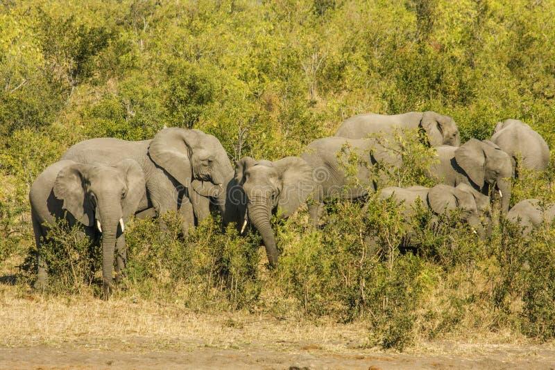 Grupo de elefantes africanos salvajes del arbusto, en el parque de Kruger imagen de archivo libre de regalías