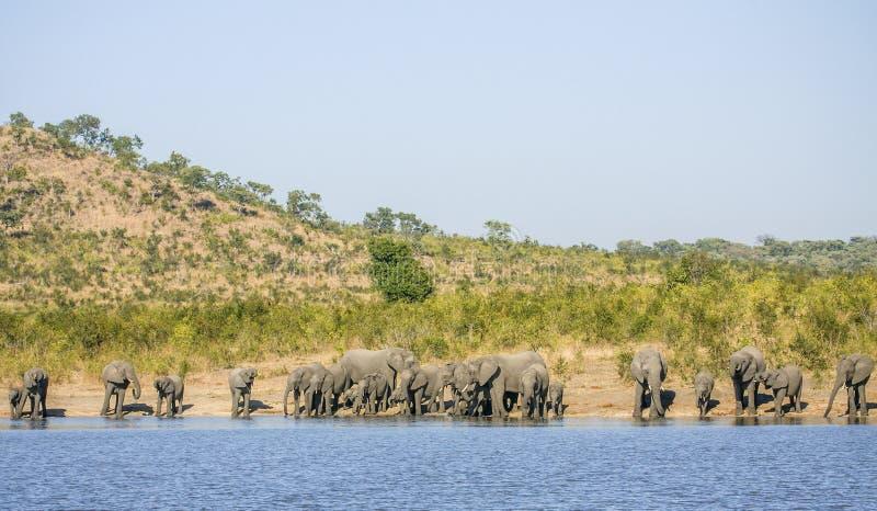 Grupo de elefantes africanos selvagens do arbusto, no parque de Kruger fotografia de stock