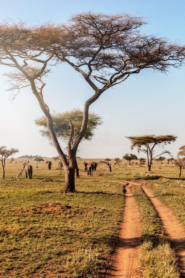 Grupo de elefantes que caminan en el parque nacional Serengeti, Tanzania, África fotos de archivo