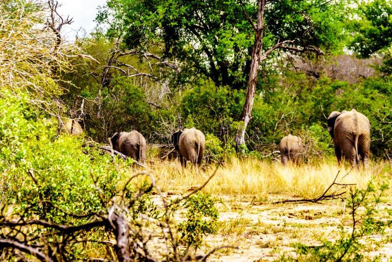 Grupo de elefantes que desaparecem na floresta em seguida que está em Olifantdrinkgat, um furo molhando no parque nacional de Kru fotos de stock