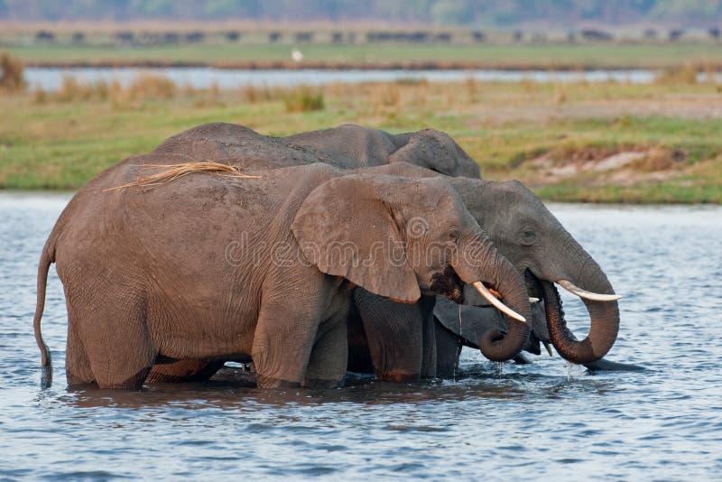 Grupo de elefantes salvajes en un waterhole. imagenes de archivo