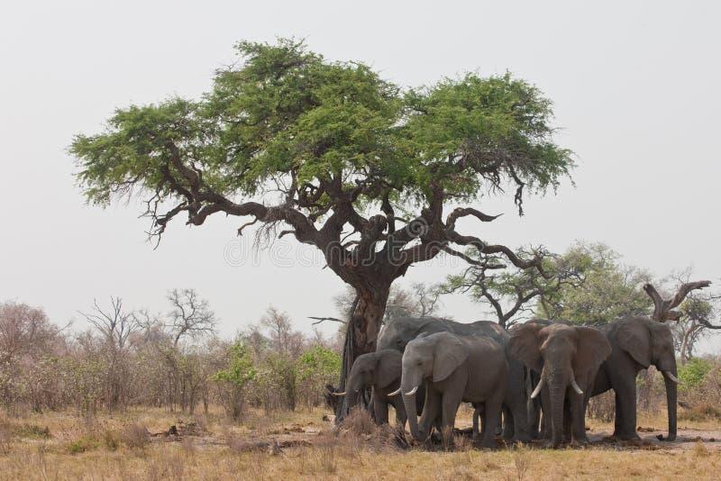 Grupo de elefantes selvagens na África meridional. fotos de stock