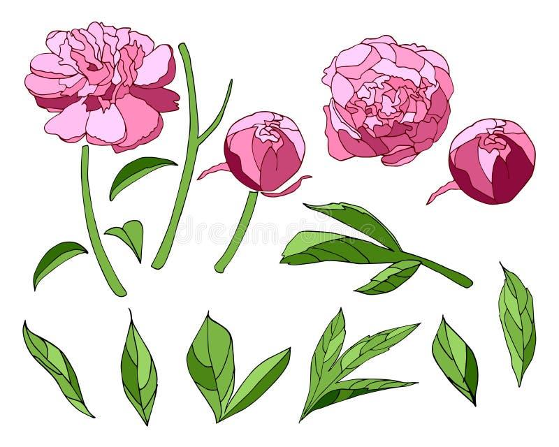 Grupo de elementos cor-de-rosa da peônia ilustração royalty free
