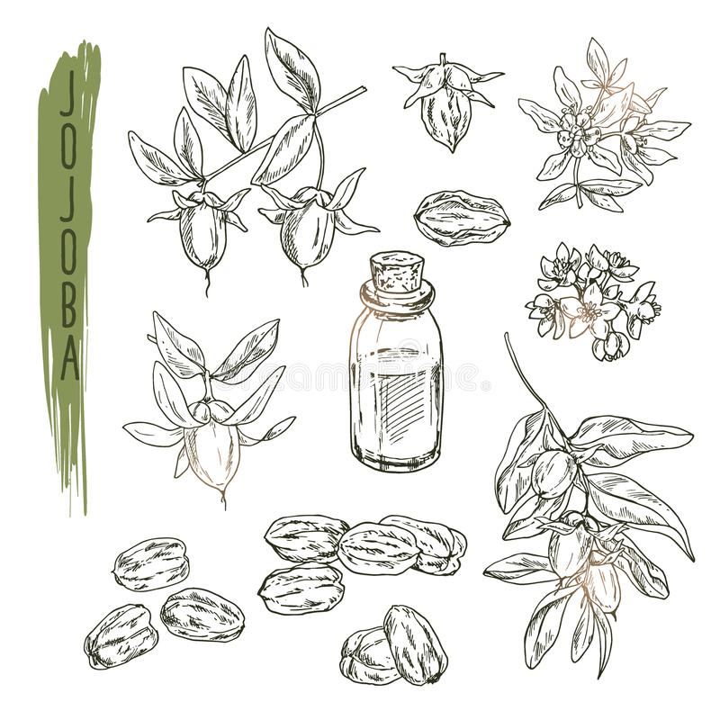 Grupo de elementos do jojoba Esboço realístico do vetor da planta orgânica ilustração royalty free