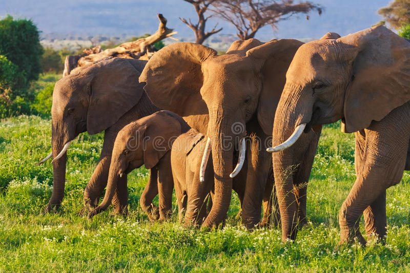Grupo de Elephats no savana de Amboseli kenya foto de stock royalty free