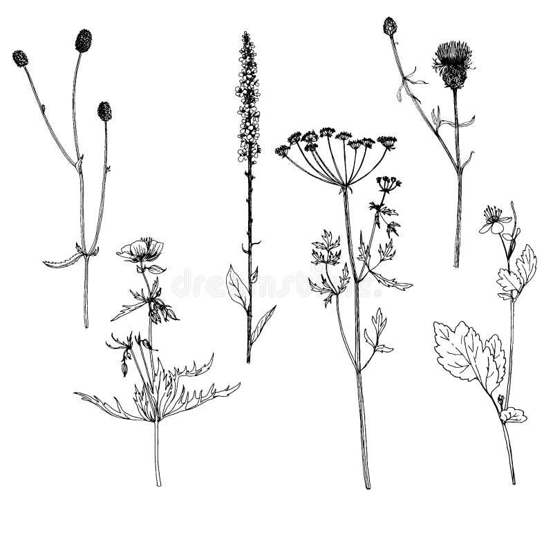 Grupo de ervas e de flores do desenho da tinta ilustração stock