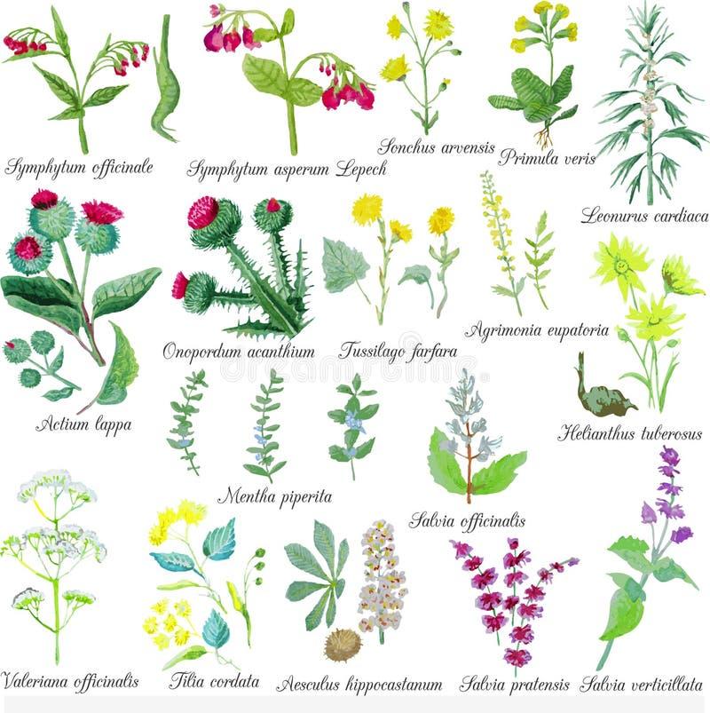 Grupo de ervas medicinais do campo Ilustração do vetor da aquarela ilustração royalty free