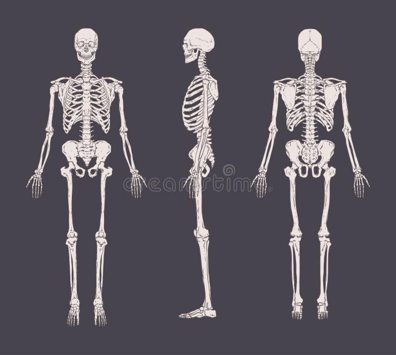 Grupo de esqueletos realísticos isolados no fundo cinzento Vista anterior, lateral e traseiro Conceito da anatomia de ilustração royalty free