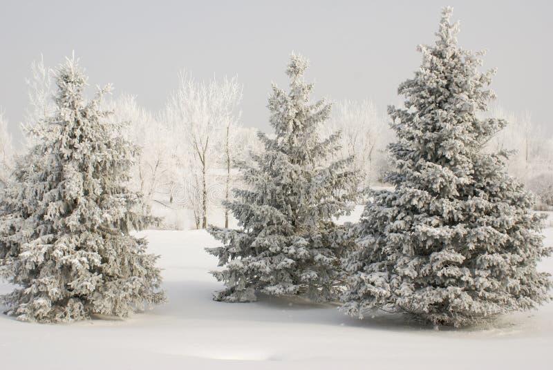 Grupo de evergreens cobertos de neve com as árvores cobertas brancas no fundo e na vegetação rasteira da neve no inverno fotografia de stock