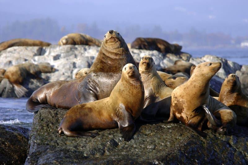 Grupo de exposição ao sol dos leões de mar imagem de stock