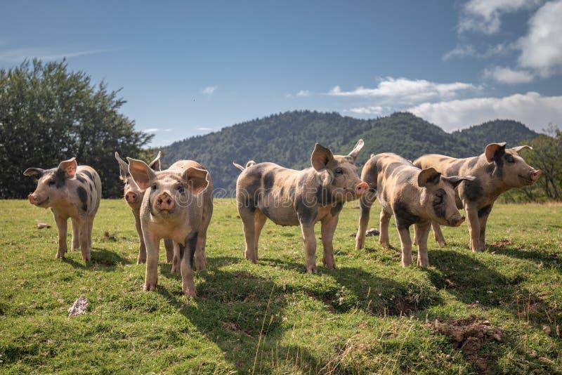 Grupo de família bonita dos porcos que procuram e que pedem o alimento que olha a câmera imagem de stock
