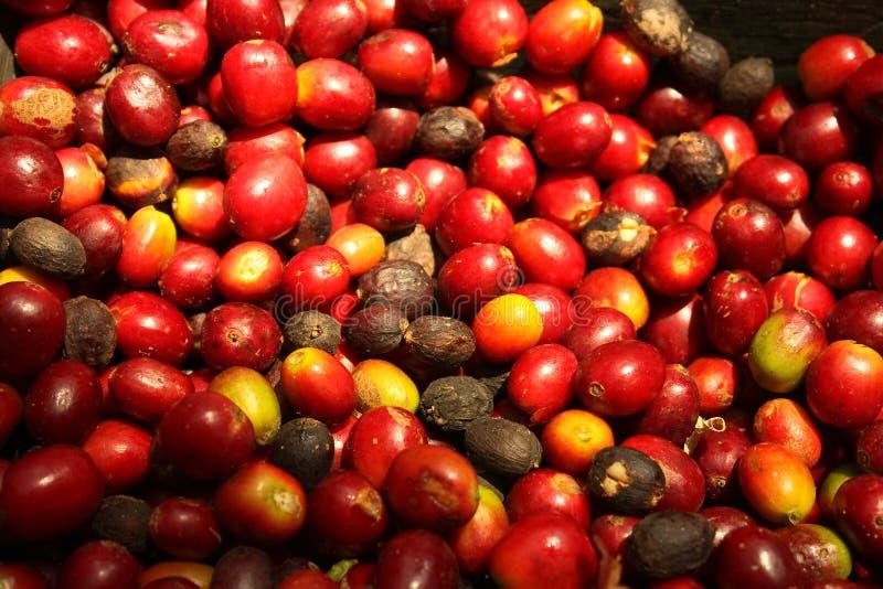 Grupo de feijões de café orgânicos. foto de stock