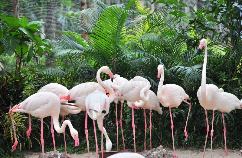 Grupo de flamingo fotografia de stock