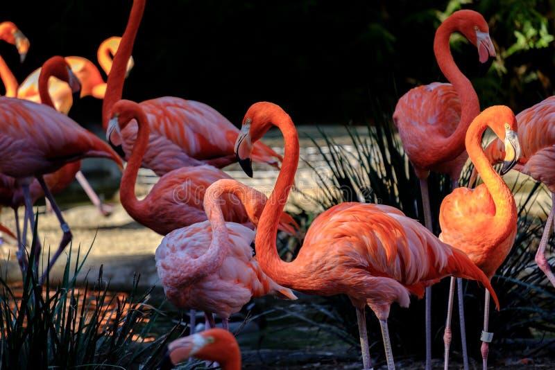 Grupo de flamingos imagem de stock
