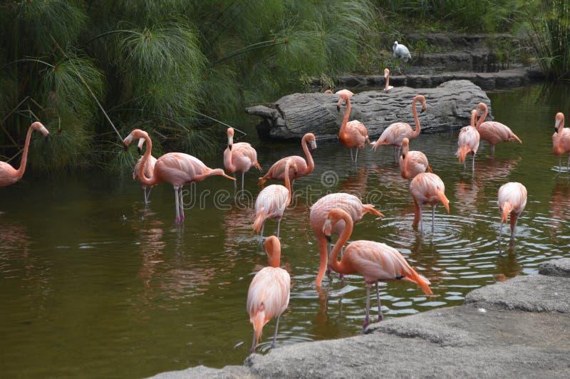 grupo de flamingos que refrigeram na lagoa imagem de stock
