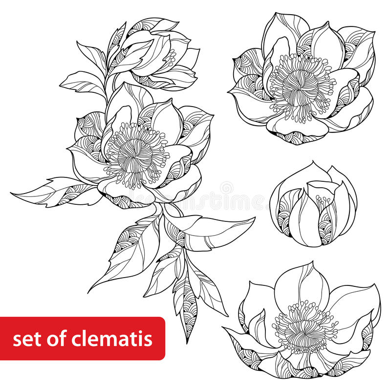 Grupo de flor da clematite isolado no fundo branco ilustração stock