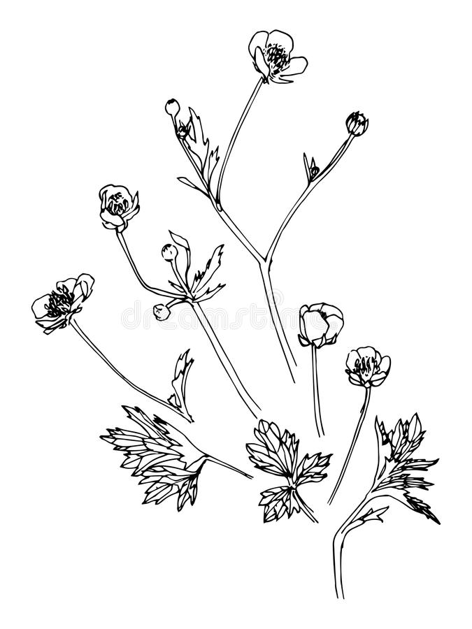 Grupo de flor e de folhas tiradas mão do paigle Estilo do esboço Ilustração do vetor Imagem desenhada mão ilustração do vetor