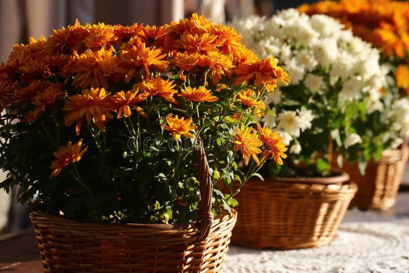 Grupo de flores alaranjadas do crisântemo imagem de stock