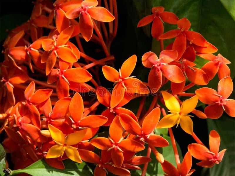 Grupo de flores alaranjadas de Ixora fotografia de stock royalty free