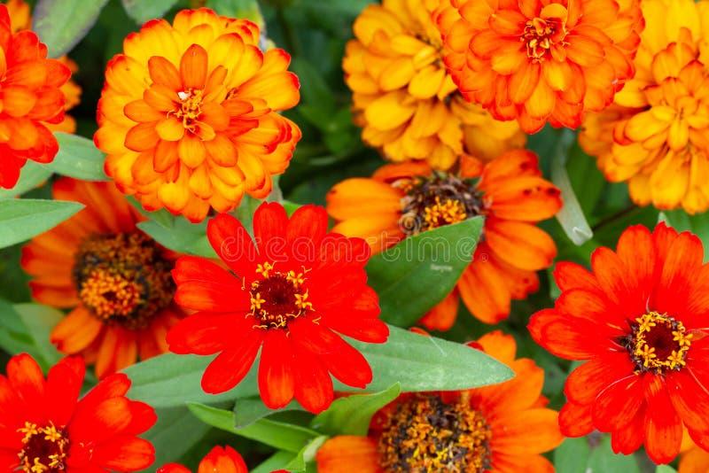 Grupo de flores anaranjadas y amarillas foto de archivo libre de regalías