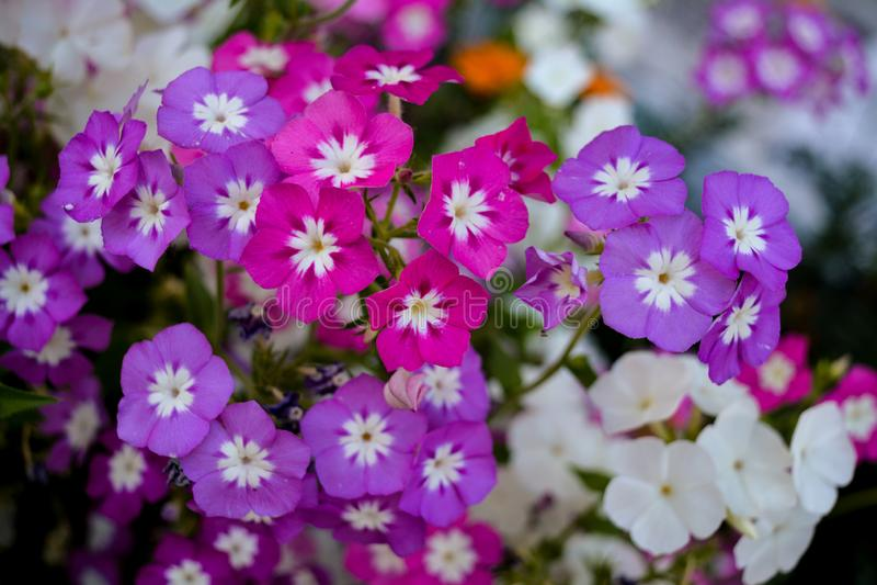 Grupo de flores blancas rosadas púrpuras del bígaro imagen de archivo libre de regalías