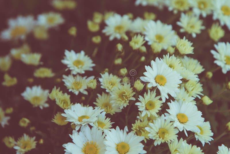 Grupo de flores bonitas da margarida branca imagens de stock