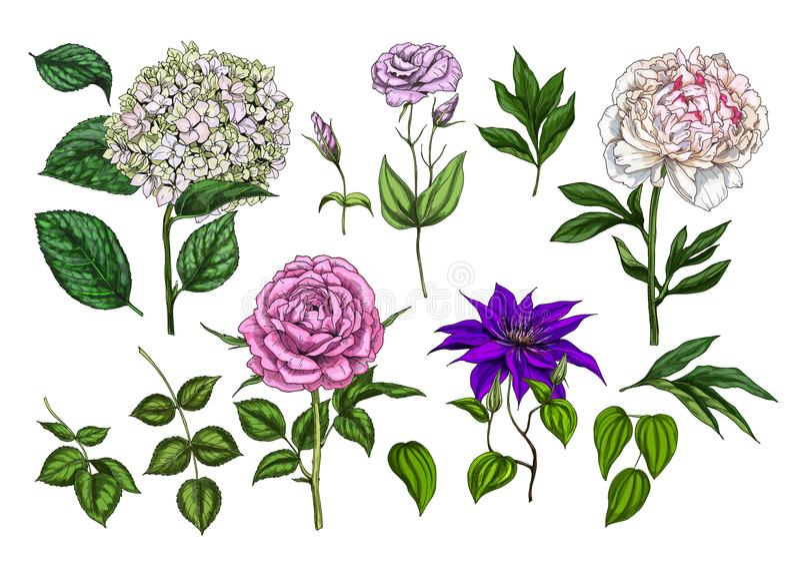 Grupo de flores coloridas e de folhas de florescência isoladas no fundo branco Rosa, peônia, clementis, flox e eustoma Vec botâni ilustração royalty free