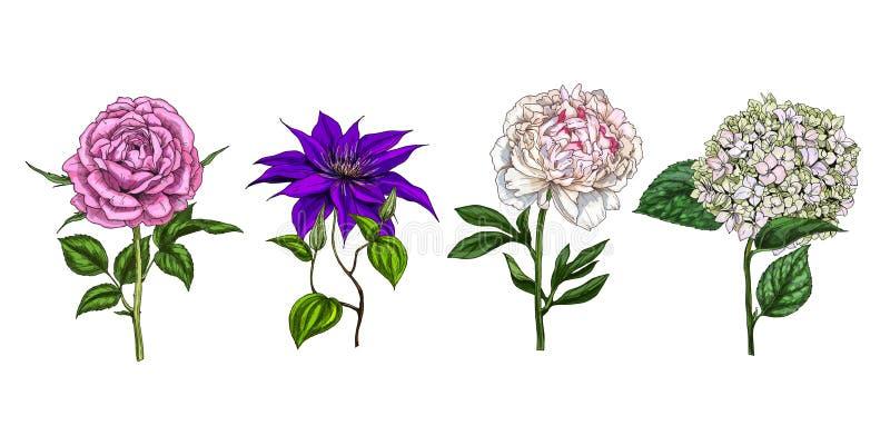 Grupo de flores coloridas e de folhas de florescência isoladas no fundo branco Rosa, peônia, clementis e flox vetor botânico flor ilustração royalty free