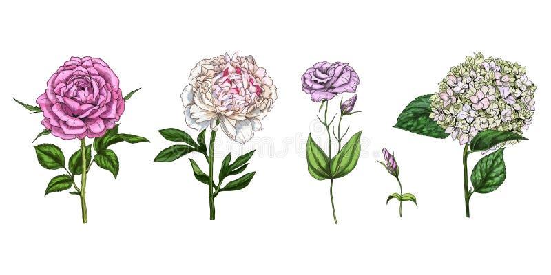 Grupo de flores coloridas e de folhas de florescência isoladas no fundo branco Rosa, peônia, flox e eustoma vetor botânico floral ilustração royalty free