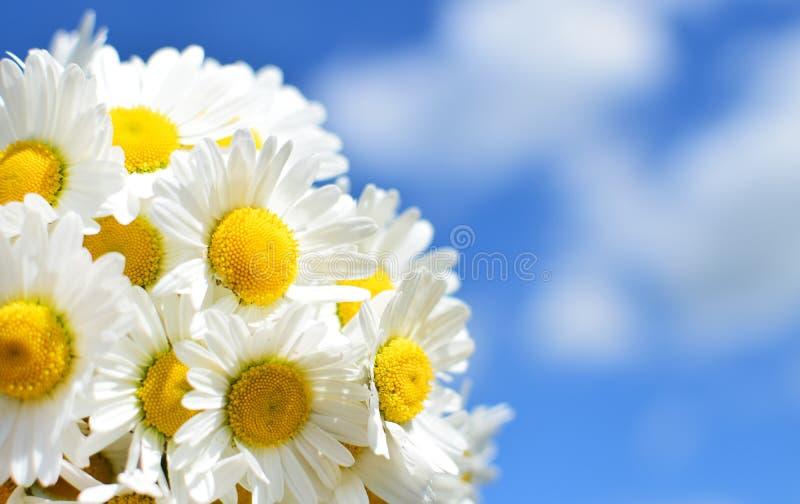 Grupo de flores da margarida branca no fim do fundo do céu azul acima A margarida da mola floresce o papel de parede foto de stock