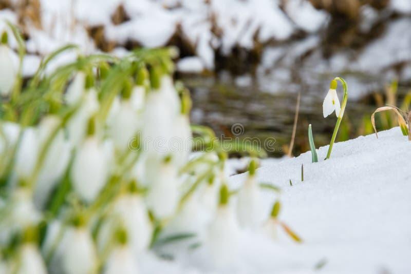 Grupo de flores do snowdrop fotografia de stock royalty free