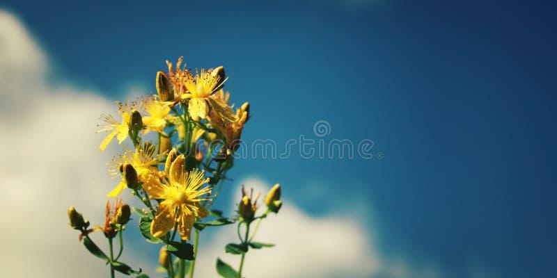 Grupo de flores do wort do ` s de St John Russo norte foto de stock