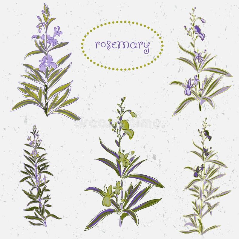 Grupo de flores dos alecrins e de elementos da decoração ilustração stock