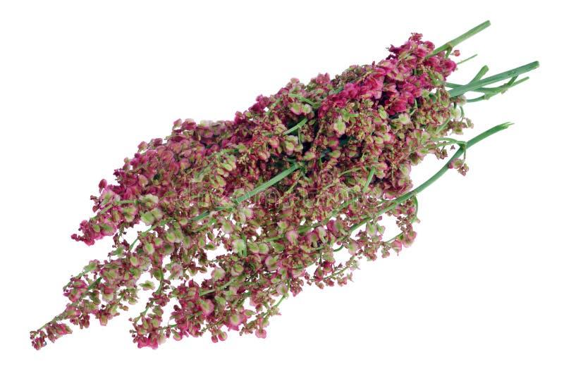Grupo de flores e de sementes do arbusto da azeda de jardim nos galhos isolados imagens de stock royalty free