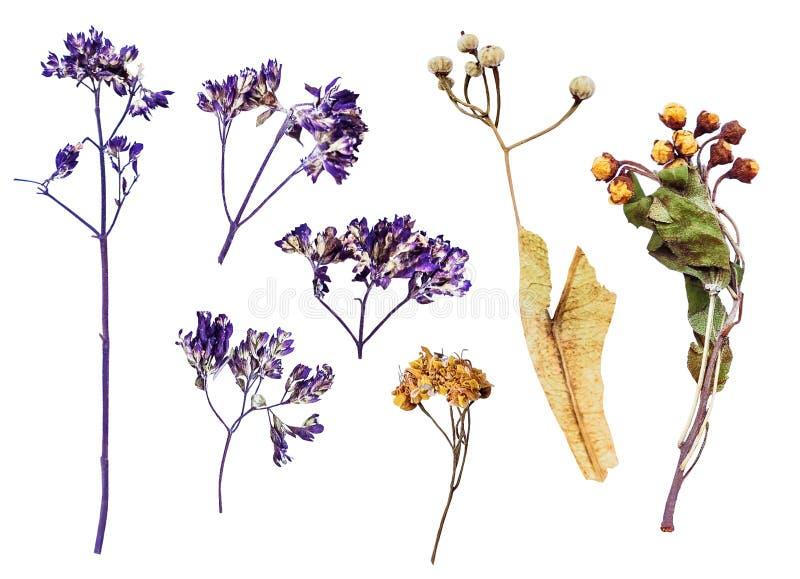 Grupo de flores secadas no branco fotografia de stock royalty free