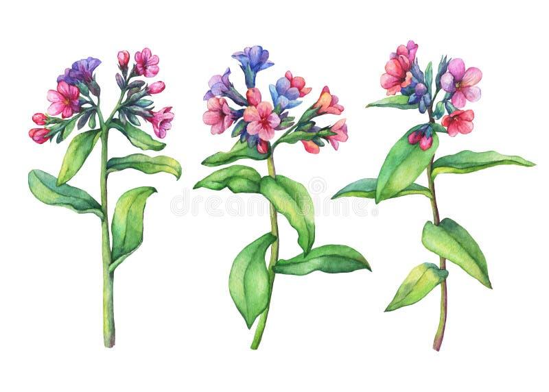 Grupo de flores selvagens da primeira mola - officinalis medicinais de Pulmonaria do lungwort escuro ilustração stock