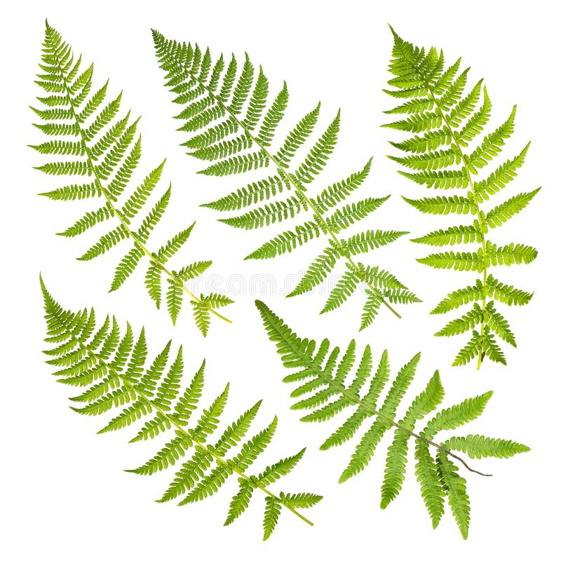 Grupo de folhas da samambaia isoladas no fundo branco foto de stock