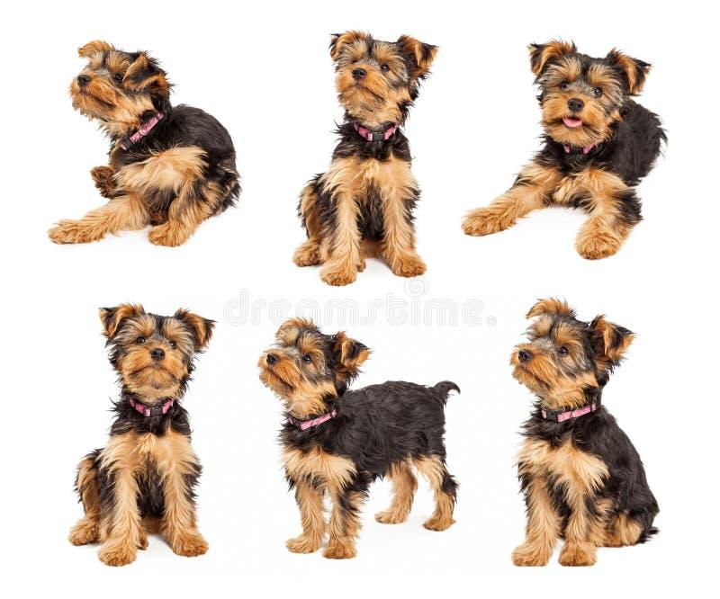 Grupo de fotos bonitos do cachorrinho do yorkshire terrier imagens de stock royalty free