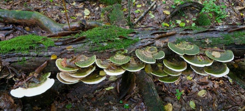 Grupo de fungos de Polypore fotos de stock royalty free