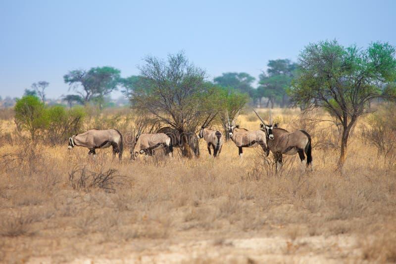 Grupo de gacela del Oryx en el desierto de Kalahari, Botswana, Suráfrica imágenes de archivo libres de regalías