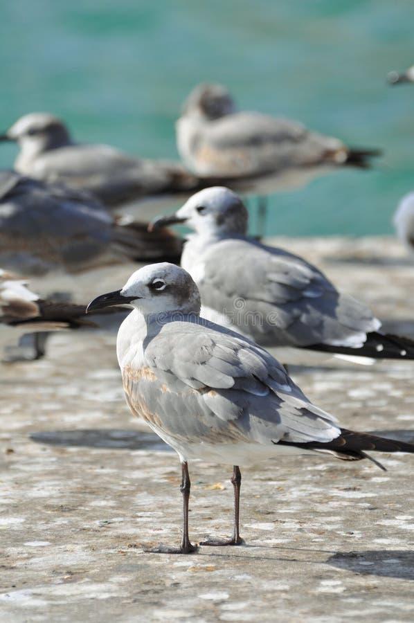 Grupo de gaivotas pela água foto de stock royalty free