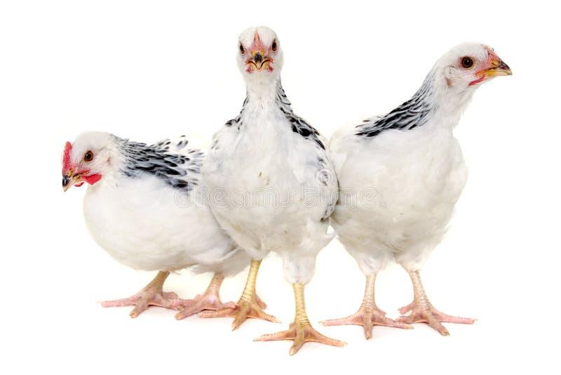 Grupo de galinhas fotos de stock royalty free