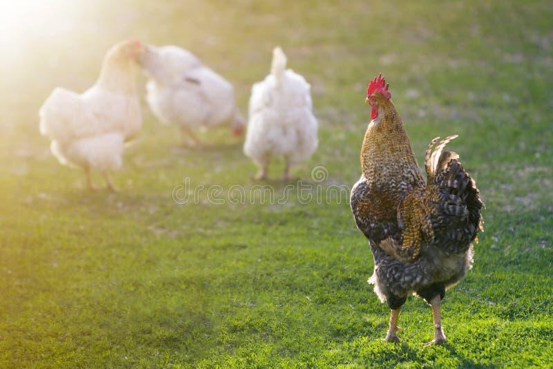 Grupo de gallinas blancas sanas crecidas y de gallo marrón grande que alimentan en primera hierba verde fresca afuera en campo de imagen de archivo libre de regalías