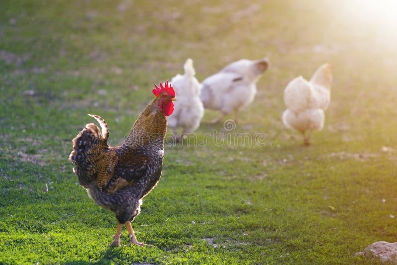Grupo de gallinas blancas sanas crecidas y de gallo marrón grande que alimentan en primera hierba verde fresca afuera en campo de fotografía de archivo